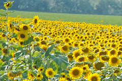 Sunshine Field (SUNFLOWERS) 03