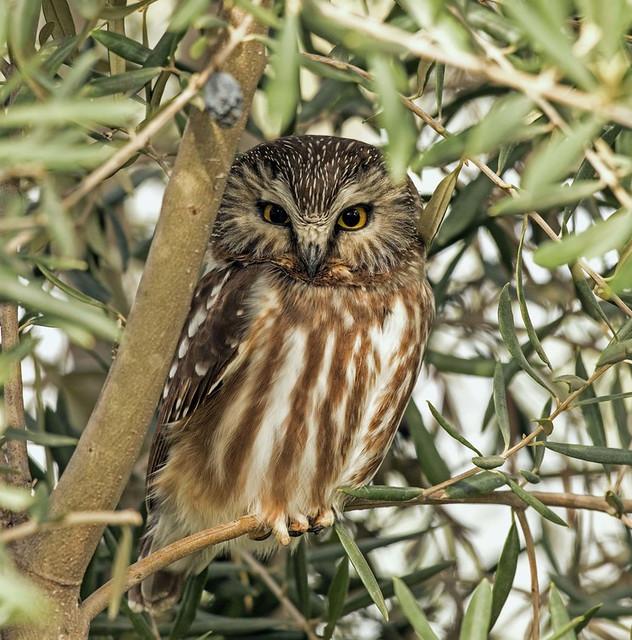 flatlands owl
