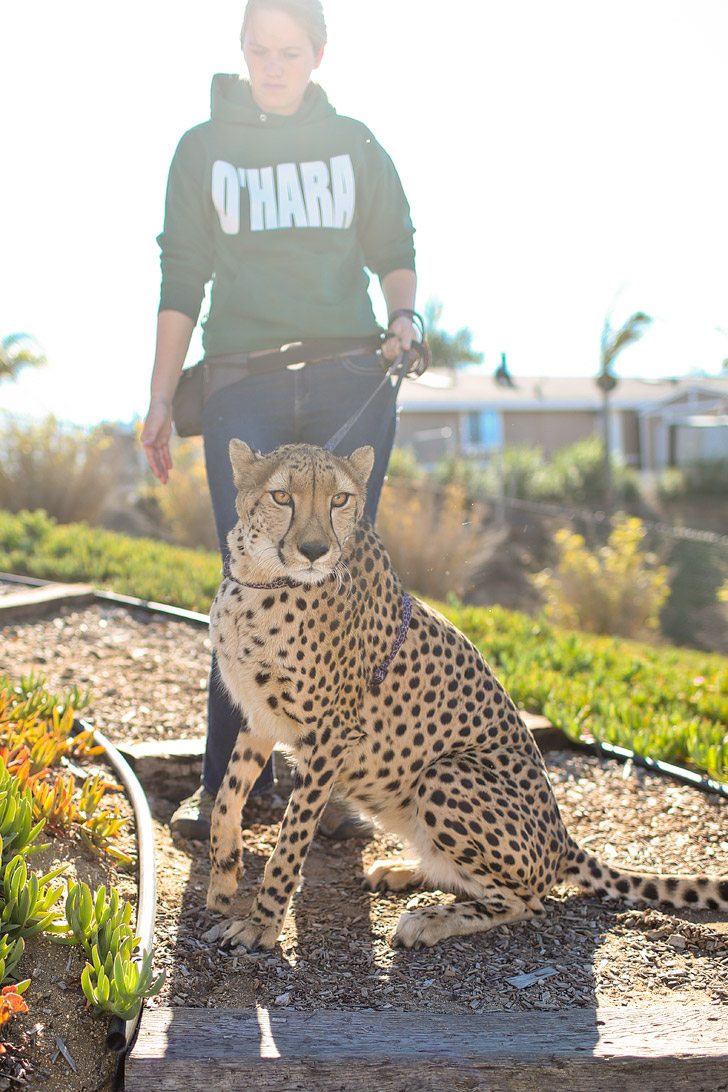 Meet Victor, the Cheetah ambassador of Wild Wonders Bonsall California. Their mission is to rescue, educate, and conserve.