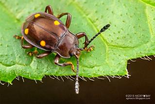 Handsome fungus beetle (Eumorphus tetraspilotus) - DSC_0475