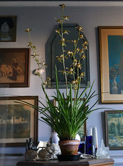 Cymbidium erythraeum species orchid, acquired dry& bare root 2-14, my 1st boom 12-16*