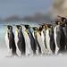 King Penguins by Photobirder