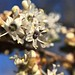 Small photo of Ceanothus megacarpus / bigpod ceanothus