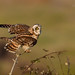 Short Eared Owl by PETEJLB