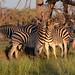 Zebra (Eric Browett)