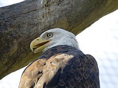 Memphis Zoo 08-31-2016 - Bald Eagle 5