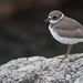Semipalmated Plover (Charadrius semipalmatus) by ER Post