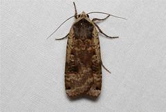 Noctua pronuba (Large Yellow Underwing Moth) Hodges # 11003.1