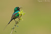 Beautiful Sunbird (Nectarinia pulchella)