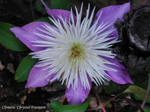 Clematis 'Christal Fountain'