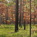 Pinus palustris Forest, Recently Burned, St. Marks National Refuge, Wakulla County, Florida 1 by Alan Cressler