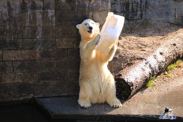 Eisbär Fiete im Zoo Rostock 26.09.2015   020