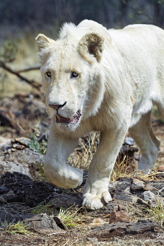 White lion walking