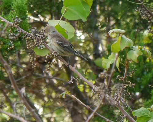 Yellow-rumped Warbler eating Poison Ivy Berries - 1