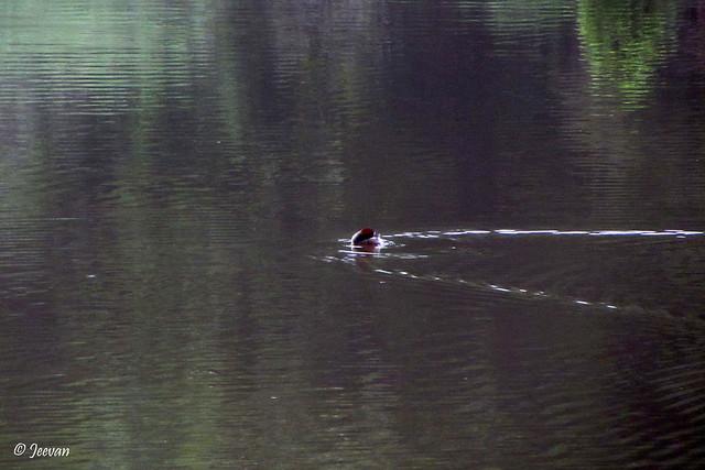 Dabchick @ Kukkal Lake, near Kodaikanal
