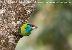 Blue-throated Barbet Megalaima asiatica