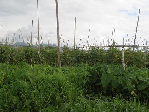 Lac Inlé: champs de tomates flottants
