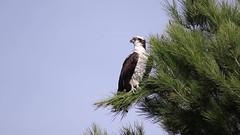 Osprey in breeze