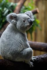 Koala Sitting on Branches