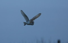 HolderBarn Owl,hunting along the cliff top as the light levels dropped.