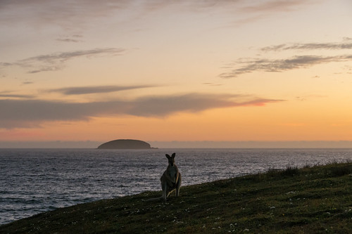 kangaroo pacificocean australia nsw emeraldbeach dawn coastal landscape sunrise sea