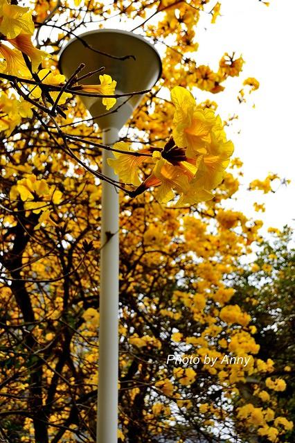 黃風鈴木42