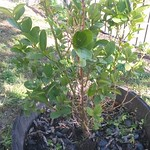 lemon planting in Lemon Tree Wine Barrel by CloCkWeRX