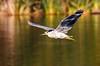 Black-crowned Night-Heron (Nycticorax nycticorax), Sepulveda Basin Wildlife Reserve, Los Angeles, CA by Ronald Kieve