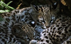 animal, small to medium-sized cats, savannah, pet, jaguar, fauna, close-up, cat, rusty-spotted cat, wild cat, ocelot, carnivoran, whiskers, bobcat, wildlife,