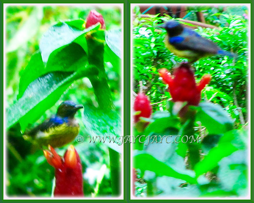Collage of sunbird, a daily garden visitor on the Red Button Ginger, Sept 8 2015