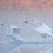 Trumpeter Swan (Cygnus buccinator) by ER Post