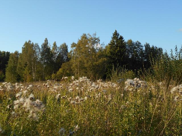 Niittynäkymiä syksyllä; ohdakkeiden siemenvillaa 11.9.2015 Espoo Leppäsilta
