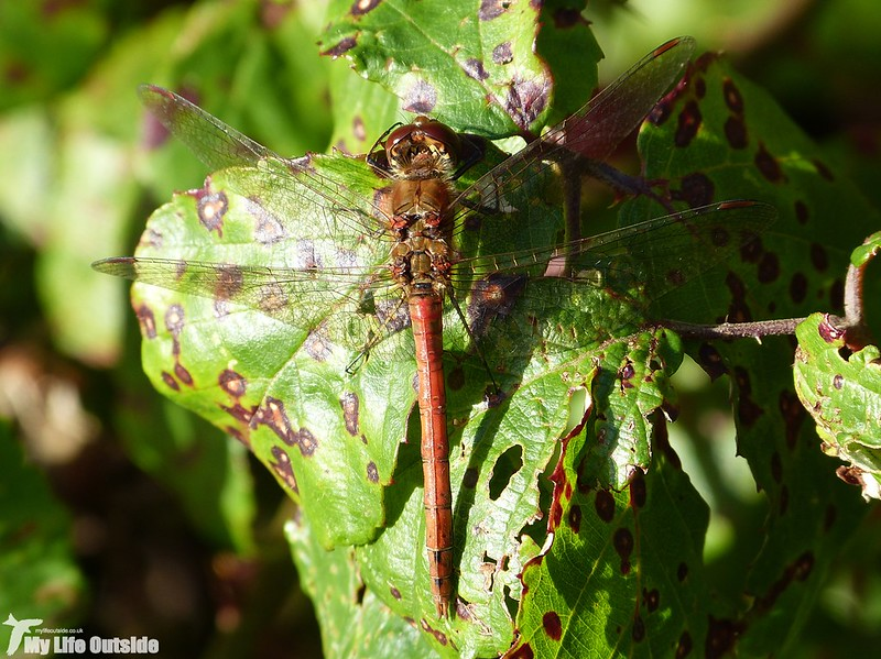 P1160137 - Common Darter, Llanelli WWT