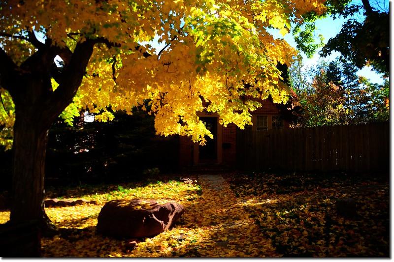 Sugar maple leaves (1)