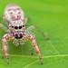Hentzia mitrata jumping spider by Tibor Nagy