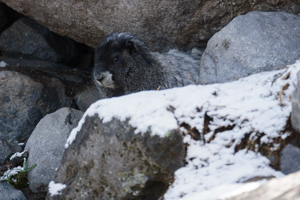 A hoary marmot sits near snow-covered rocks at the end of the Summerland Trail in the Sunrise area of Mount Rainier National Park