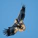 Bald eagle Bluff SNA, near Wabasha, MN.