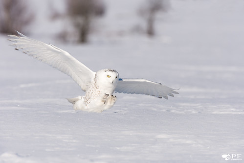 ''Les Griffes!'' Harfang des neige-Snowy Owl