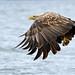 White Tailed Sea Eagle , Loch na Keal , Isle of Mull..
