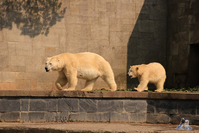 Eisbär Fiete imm Zoo Rostock 15.08.2015 Teil 2  317
