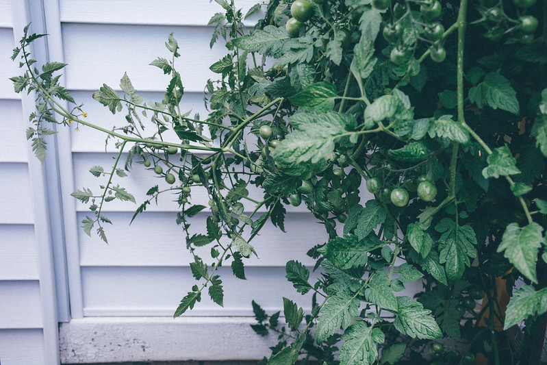 lemon drop tomato plant = out of control!