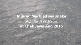 injured Marbled sea snake (Aipysurus eydouxii)