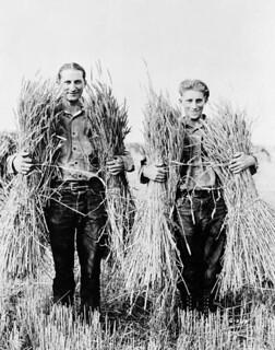 Two men from the British Isles harvest wheat / Deux hommes des îles Britanniques récoltent du blé