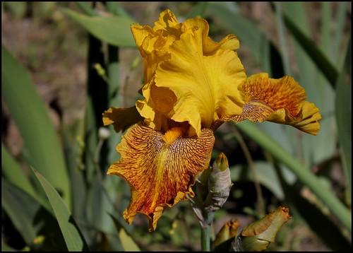 Iris Ruée vers l'Or