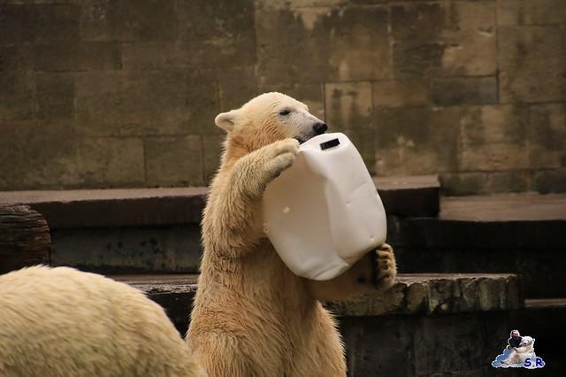 Eisbär Fiete im Zoo Rostock 26.09.2015   0130