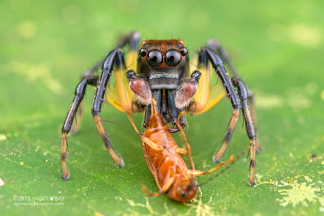 Jumping spider (Amycus sp.) - DSC_4388