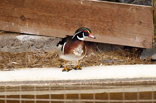 Duck, Risco Bello Gardens, Puerto de la Cruz, Tenerife