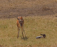 adventure(0.0), cheetah(0.0), jackal(0.0), animal(1.0), prairie(1.0), antelope(1.0), mammal(1.0), fauna(1.0), impala(1.0), savanna(1.0), grassland(1.0), safari(1.0), gazelle(1.0), wildlife(1.0),