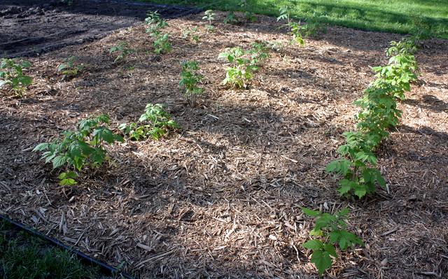 raspberry plants in mulch