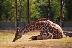 Giraffa camelopardalis reticulata DT [AR Zoo BBAA] (3)